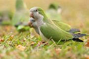 Monk Parakeet Metal Prints - Quaker Parrot #4 Metal Print by David Cutts