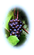 Sparkling Wine Posters - Quality Oregon Grapes Poster by Steven Baier
