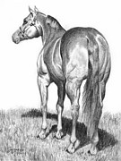 Quarter Horse Drawings Framed Prints - Quarter Horse Assets Framed Print by Suzanne Schaefer