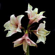 Amaryllis Art - Quartet of Amaryllis. by Terence Davis