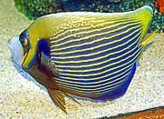 A Gurmankin - Queen Angelfish