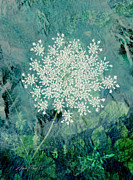 Blue And White Posters - Queen Annes Lace  Poster by Ann Powell