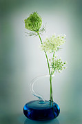 Queen Annes Lace Prints - Queen Annes Lace Print by Bill  Wakeley