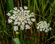 Queen Anne's Lace Blossoms Print by Catherine Kirby