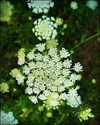 Framed Inspirational Wildlife Photography Posters - Queen Annes Lace Poster by Carol Toepke