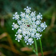 Afternoon Light Photos - Queen Annes Lace by Steve Harrington
