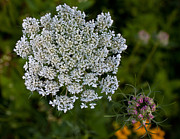 Cvnp Prints - Queen Anns Lace Print by Claus Siebenhaar