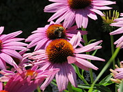 Busy Photo Originals - Queen Bee On Purple Coneflower by Elisabeth Ann