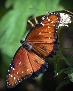 Insect Photo Prints - Queen Butterfly Print by Adam Romanowicz