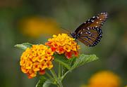 Saija  Lehtonen - Queen Butterfly Atop Lantana