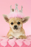 Photography Digital Art Prints - Queen Chihuahua Print by Greg Cuddiford