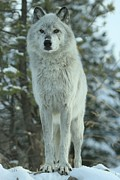 Wolves Photos - Queen Of The West by Adam Jewell