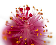 Stamen Digital Art Prints - Queens Crown Print by Camille Lopez