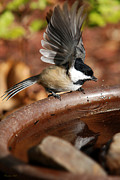 Birdbath Prints - Quench Print by Christina Rollo