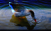Goose In Water Posters - Quench My Thirst Poster by Olahs Photography