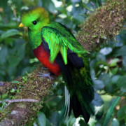 Coloured Plumage Prints - Quetzal Print by Heiko Koehrer-Wagner