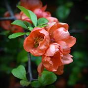 John Tidball  - Quince Blossom