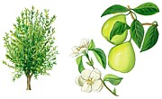 Horizontal Drawings Posters - Quince tree Poster by Anonymous