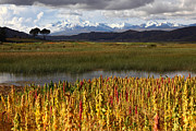 Andean Framed Prints - Quinoa The Andean Cereal Framed Print by James Brunker