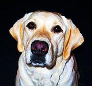Quintessential Lab - Yellow Labrador Retriever Art By Sharon Cummings Print by Sharon Cummings