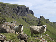 Scottish Blackface Posters - Quiraing - Isle of Skye Poster by Phil Banks
