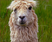 Llama Photo Posters - Quirky Llama Poster by Kae Cheatham