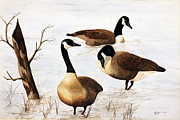 Canadian Geese Painting Posters - Quite Interlude Poster by William  Clark