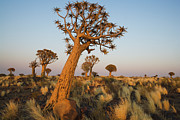 Desert Prints - Quiver Tree Aloe  At Dawn Print by Theo Allofs