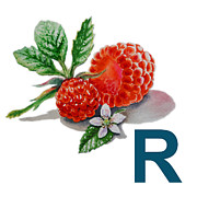 Raspberry Paintings - R Art Alphabet for Kids Room by Irina Sztukowski