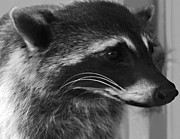 Raccoon Photo Posters - Raccoon 1 Poster by Ellen Henneke