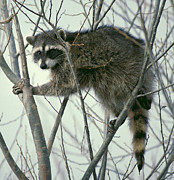 Raccoon Prints - Raccoon 3 Print by Ellen Henneke