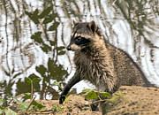 Kate Brown - Raccoon Alert