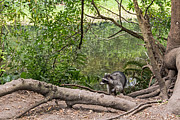 Kate Brown - Raccoon at the Lake
