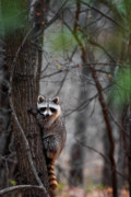 Raccoon Photo Posters - Raccoon Poster by Bill  Wakeley