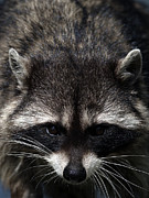 Raccoon Photo Posters - Raccoon Encounter Poster by Sharon  Talson