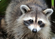Raccoon Photo Posters - Raccoon Eyes Poster by Carol Groenen