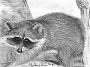 Raccoon Drawings - Raccoon by Patricia Wilhelm