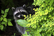 Raccoon Photo Posters - Raccoon Peek-a-boo Poster by Sharon  Talson