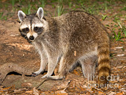 Fauna Metal Prints - Raccoon Procyon Lotor Metal Print by Millard H. Sharp