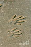 Steve Maslowski - Raccoon Tracks In Sand