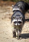David Millenheft - Raccoons
