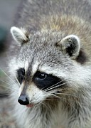 Critter Photos - Racoon by Sabrina L Ryan