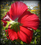 Tropical Photographs Originals - Radiant in Red - Hibiscus by Dora Sofia Caputo