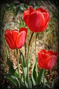 Radiant In Red - Tulips Print by Dora Sofia Caputo