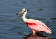 Beach Photo Posters - Radiant Roseate Spoonbill Poster by Sabrina L Ryan