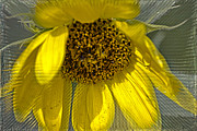 Judy Hall-Folde - Radiant Sunflower