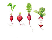 Produce Drawings Prints - Radishes Print by Susan Pope