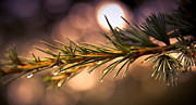 Fall Photographs Posters - Rain Droplets on Pine Needles Poster by Loriental Photography