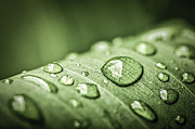 Dewdrops Photo Posters - Rain drops on green leaf Poster by Elena Elisseeva