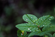 Maik Tondeur - Rain Drops on leafs Right